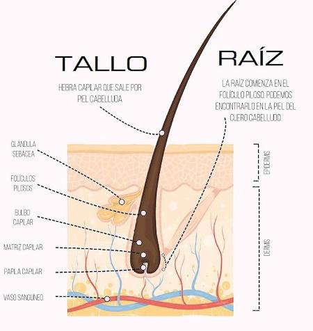 Raíz y tallo del pelo